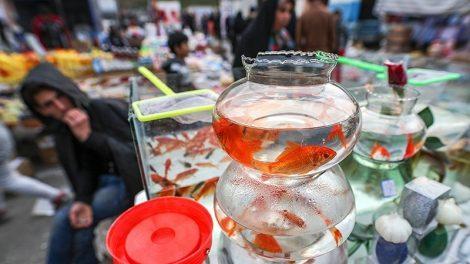 تغذیه ی ماهی های قرمز نوروز