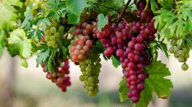 سلامتی خود را با خوردن انگور تضمین کنید