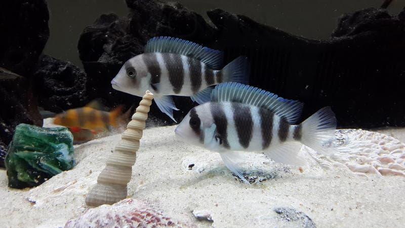 ماهی فرانتوزا