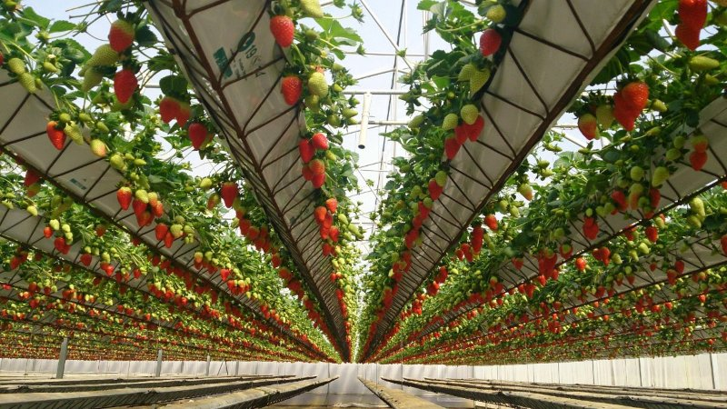 کاشت توت فرنگی در گلخانه