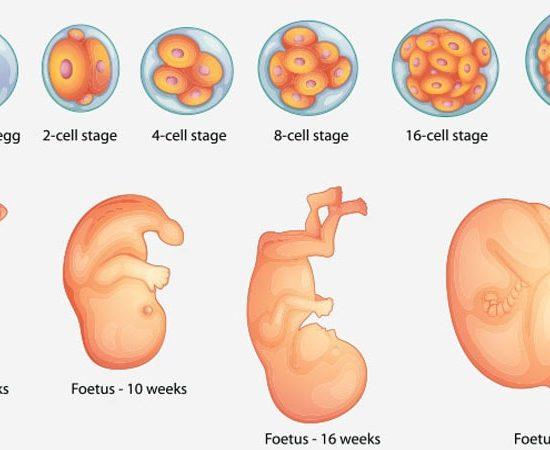 دوران بارداری هفته به هفته