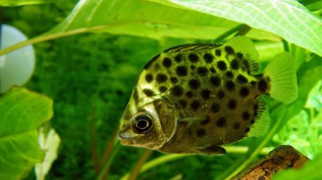 ماهی اسکات