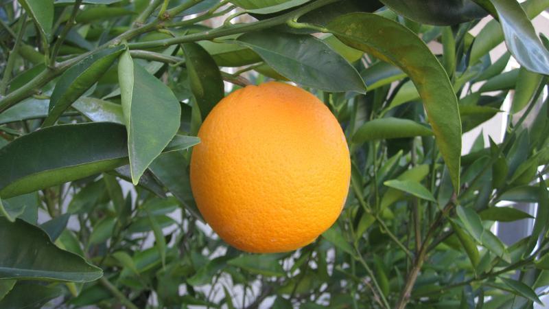 کاشت و نگهداری درخت پرتقال
